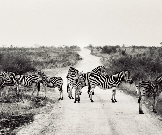 Safari (18)