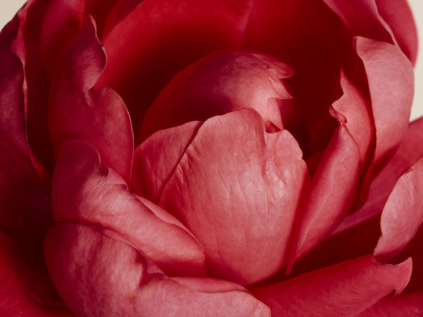 Photographer Jamie Beck photographs garden roses she grew from her own garden
