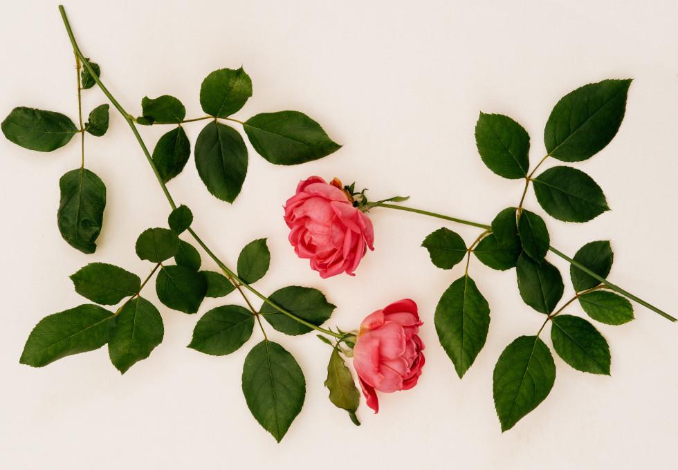 Garden_roses_01