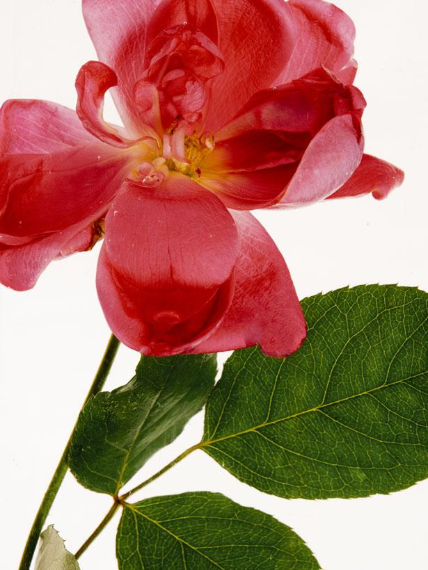 Photographer Jamie Beck photographs garden roses she grew from her own garden