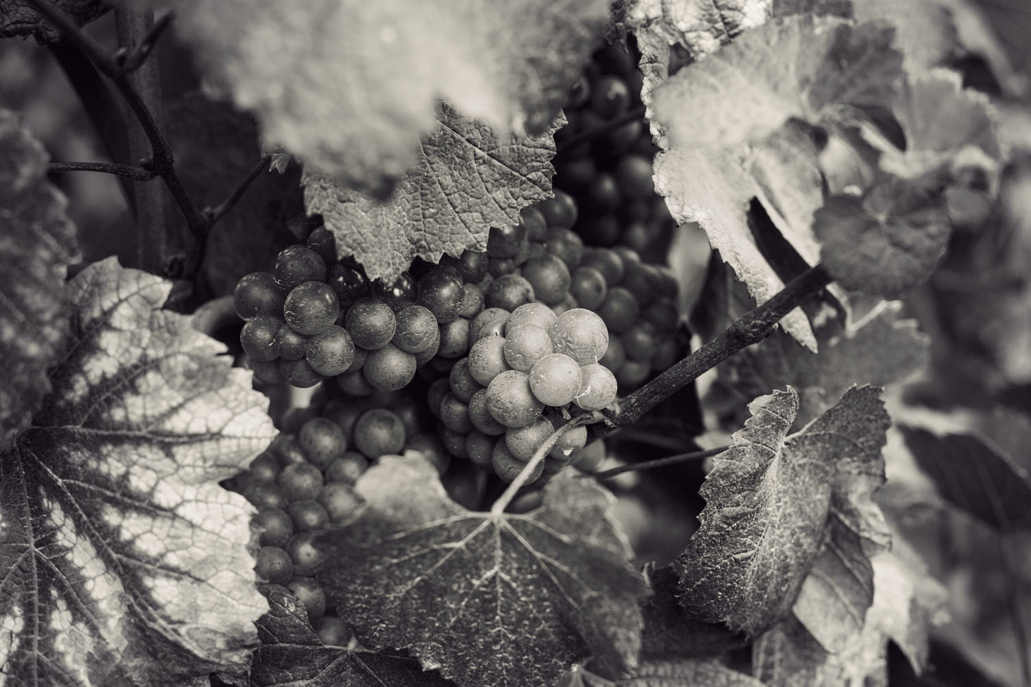 ruinart_champagne_harvest_002