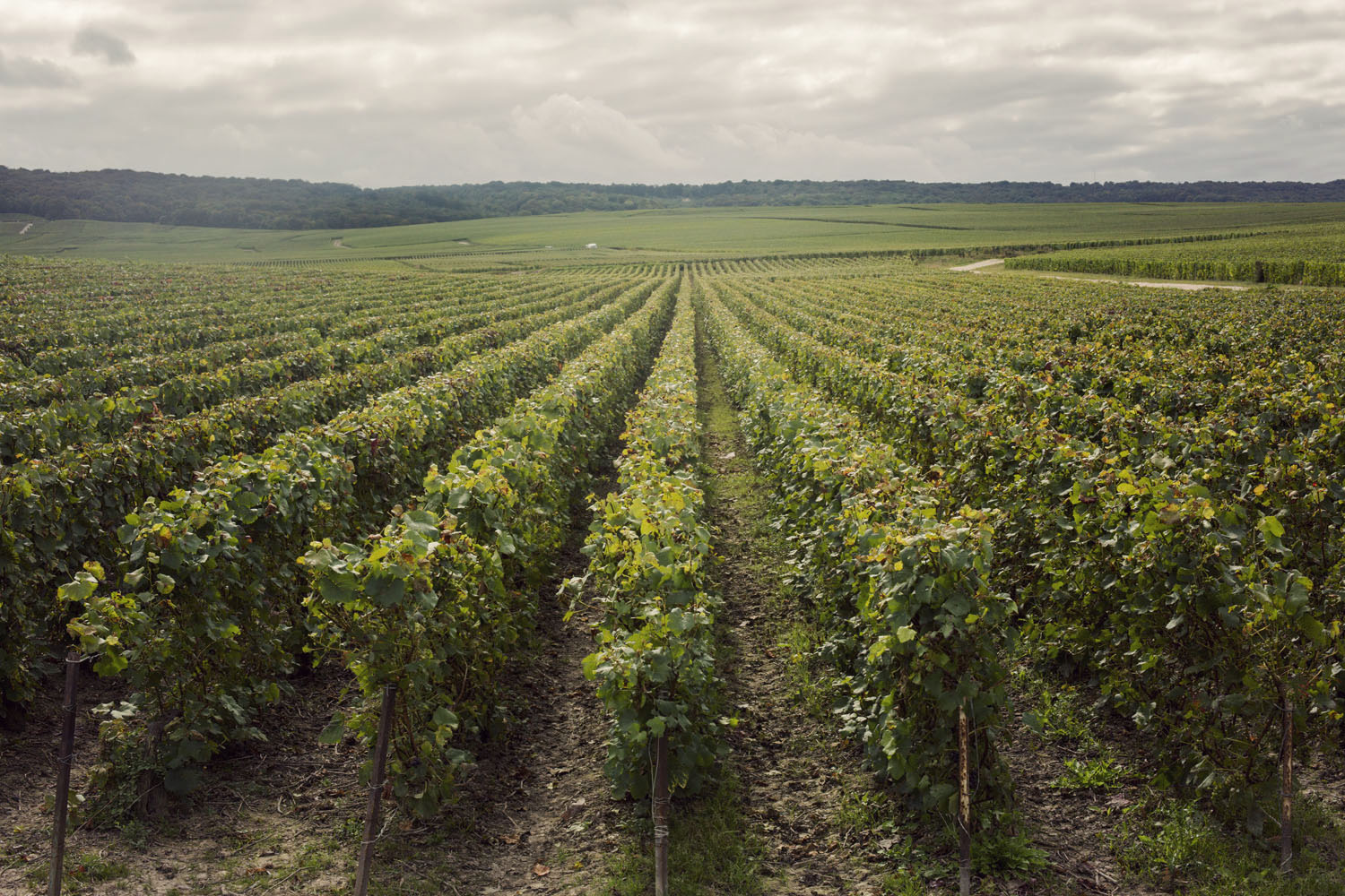 ruinart_champagne_harvest_004