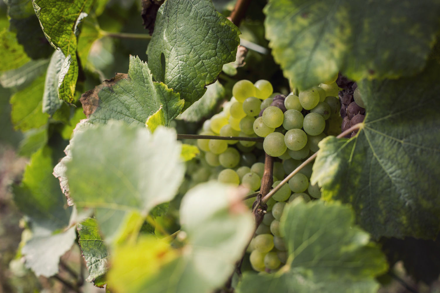 ruinart_champagne_harvest_009
