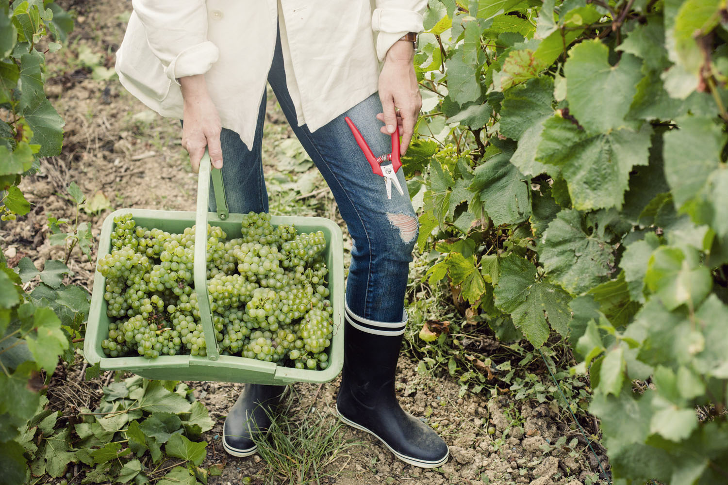 ruinart_champagne_harvest_010