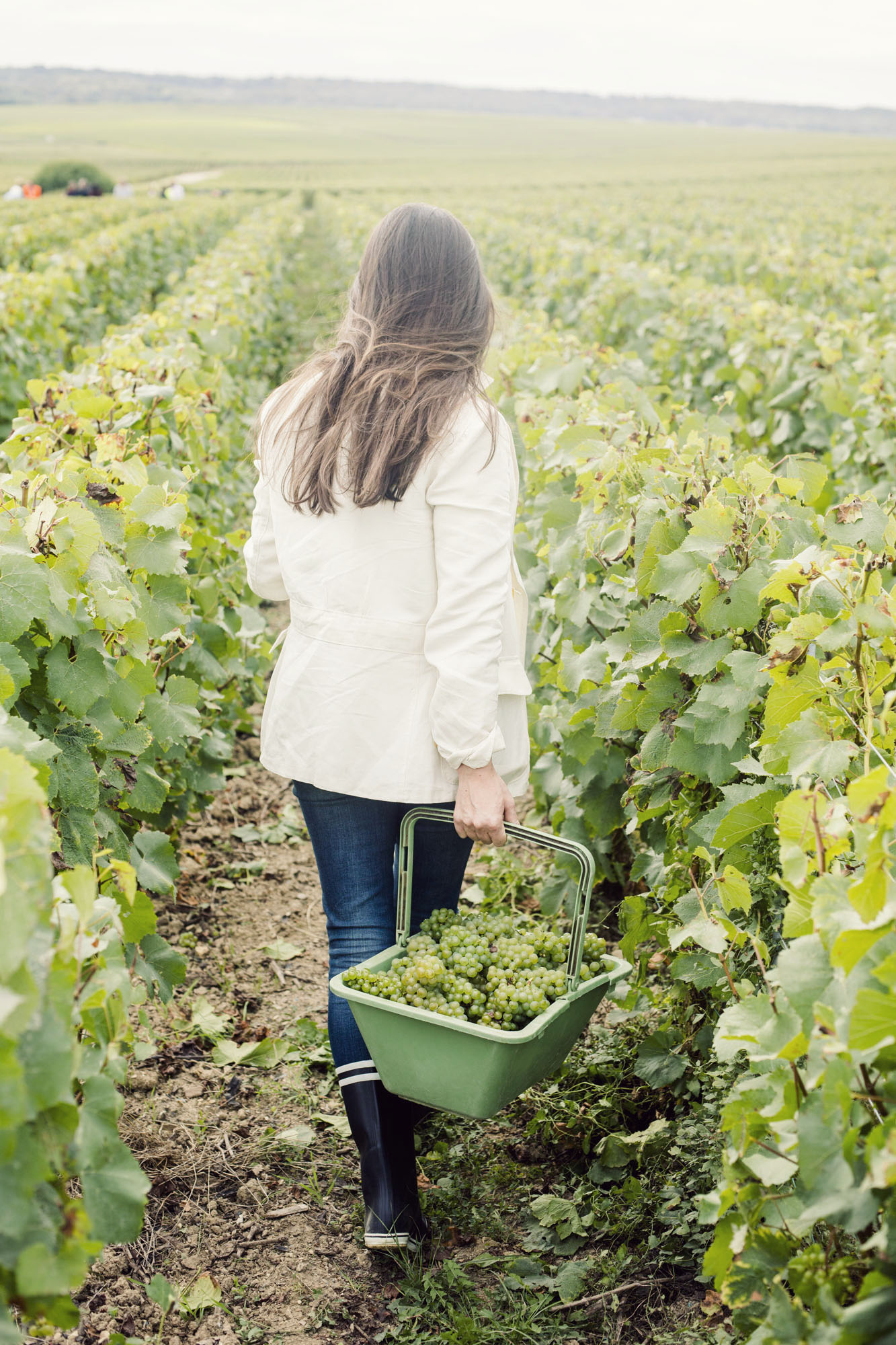 ruinart_champagne_harvest_011