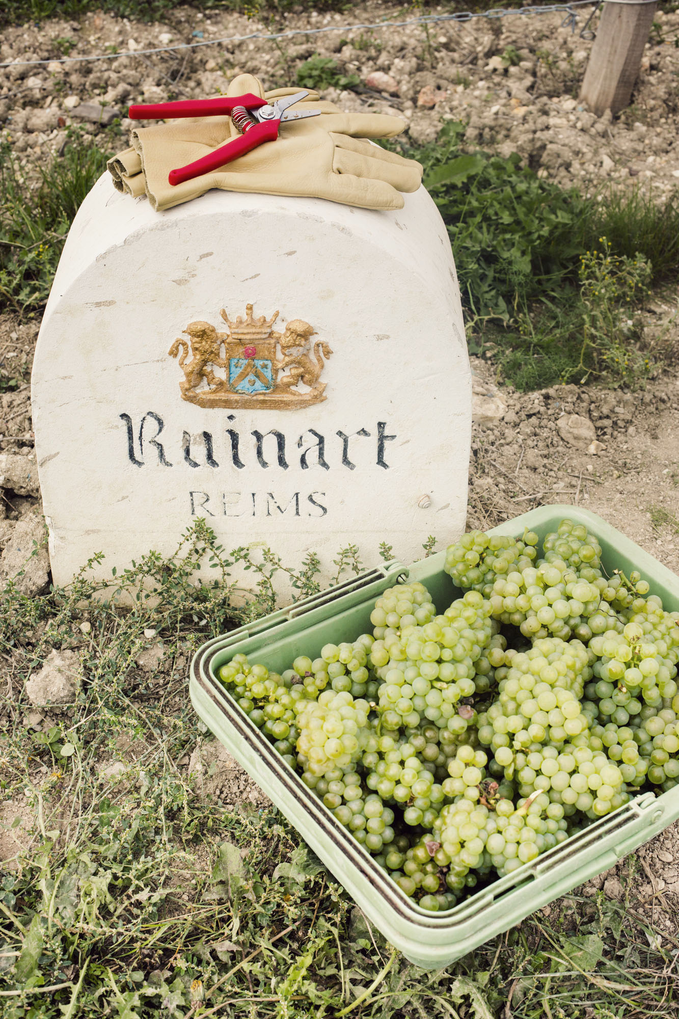 ruinart_champagne_harvest_013
