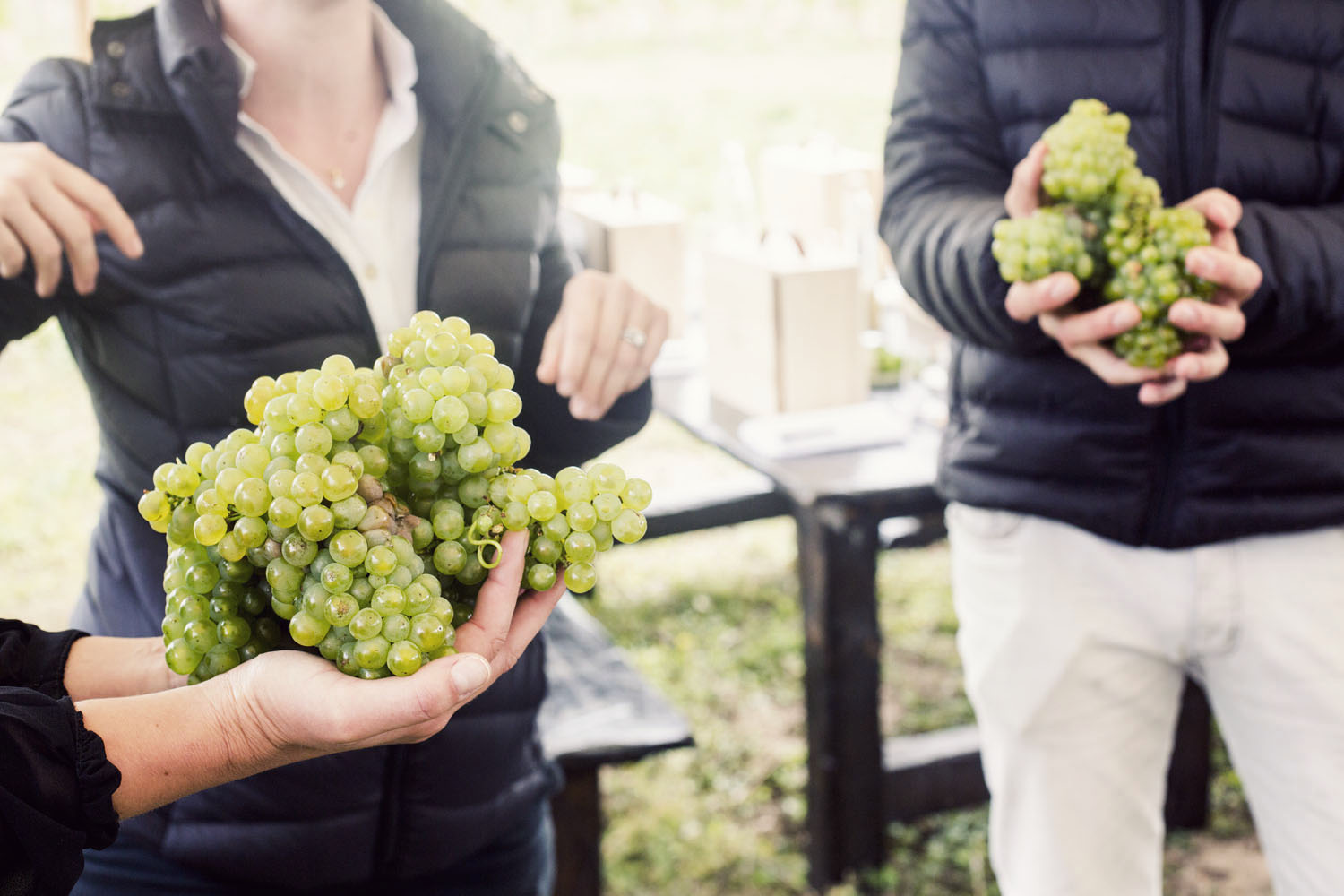 ruinart_champagne_harvest_017